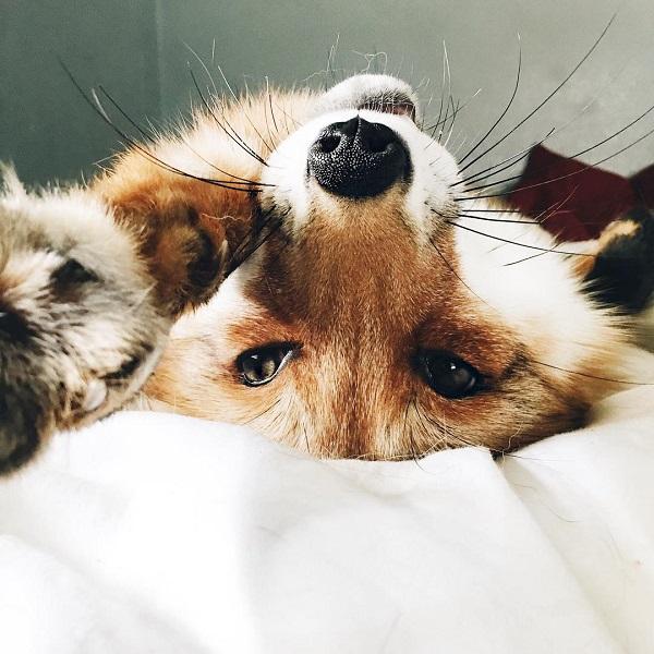 Juniper, The Fox